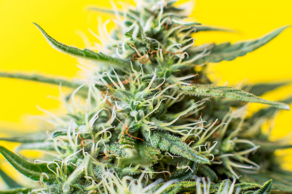 Guide to buying cannabis healthy bud