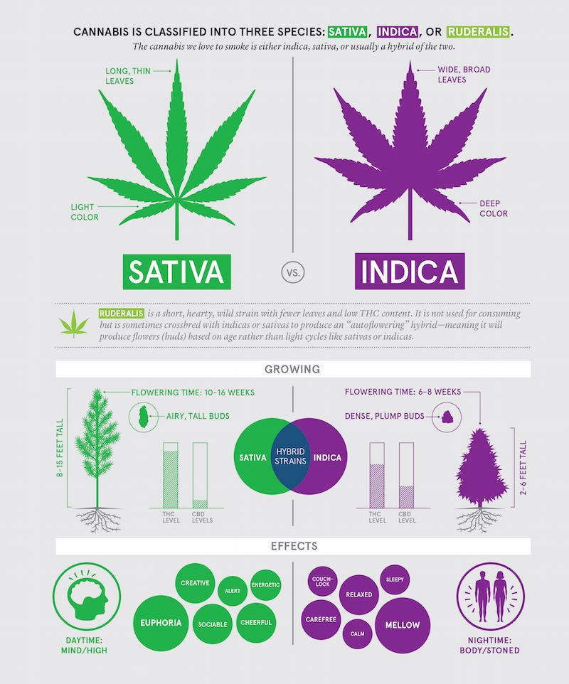 Buying cannabis: species classifications