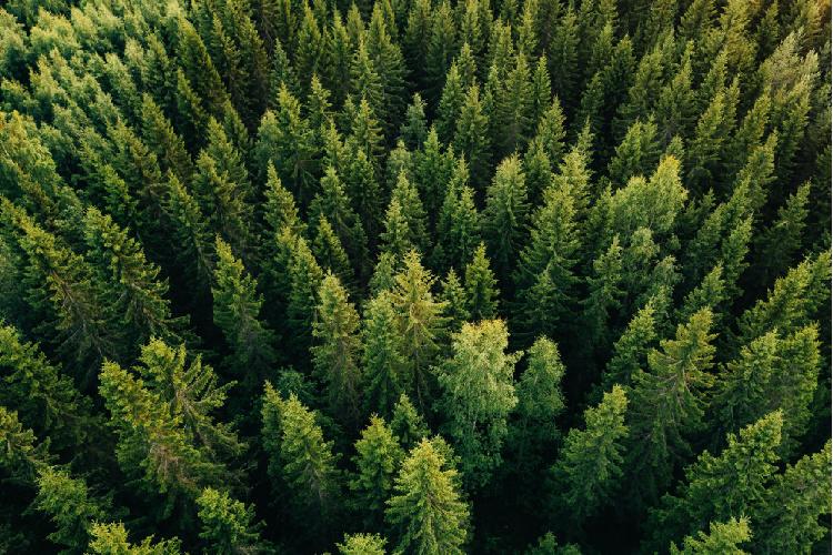 Ocimene trees