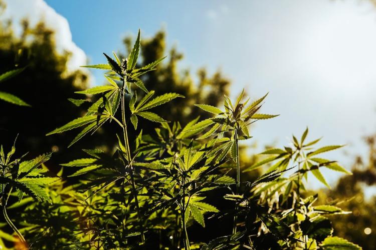 hemp cbd vs cannabis cbd plants
