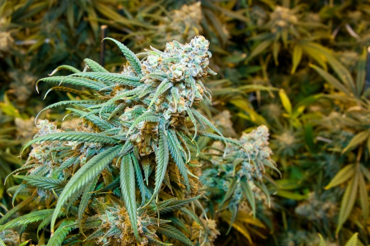 Best Cannabis Strains for Spring strawberry cough