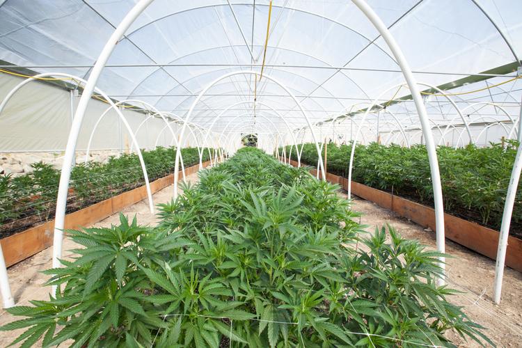 Breeding cannabis greenhouse