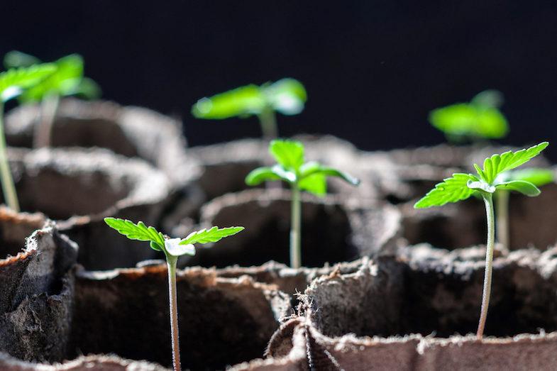 breeding cannabis