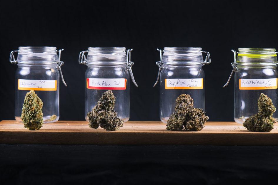 How to Pick a Cannabis Strain