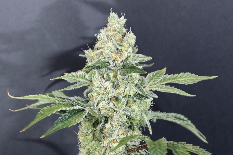 fruity cannabis strains Tangerine Cookies by 1937 Farms