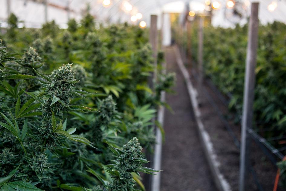 fresh vs dried cannabis