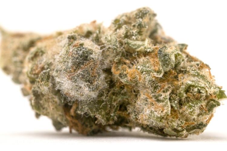 moldy cannabis bud closeup